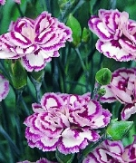 Dianthus Star Burst