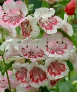 Penstemon Ice Cream, Strawberries and Cream