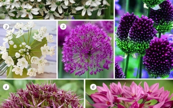 The Ultimate Allium Mix