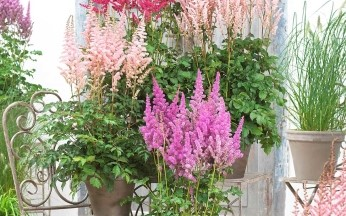 Astilbe Astounding mix