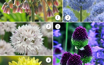 Allium Informal Collection