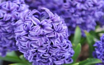 Hyacinths Rembrandt