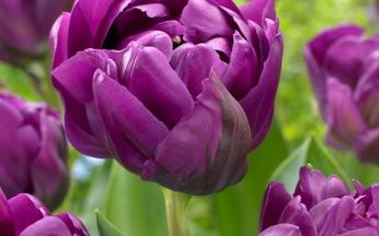 Tulip Double Negrita
