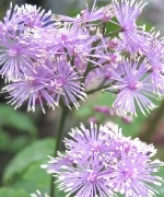 Thalictrum (Meadow Rue) Hewitts Double