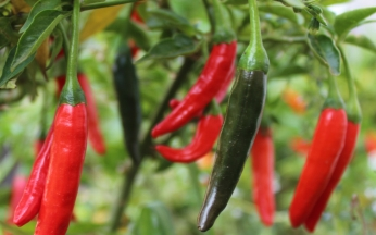 Chilli Capsicum Pepper de Cayenne