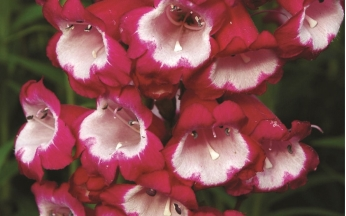 Penstemon Perfect Collection