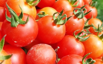 Solanum Gardeners Delight Tomato