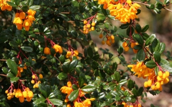 Berberis Mixed Collection
