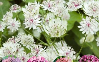 Astrantia Amazing Mix