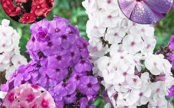 Phlox Giant Scented Collection