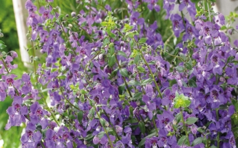 Angelonia Archangel Collection