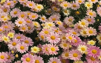 Argyranthemum Aramis lemon and pink