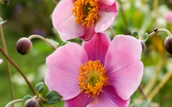 Japanese Anemone (Wind Flower) September Charme
