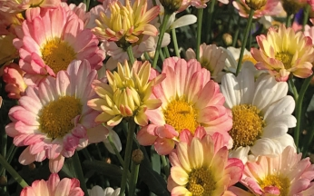 Argyranthemum Collection