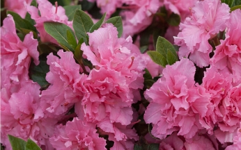 Azalea Bloom Champion Pink