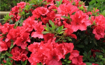 Azalea Bloom Champion Red