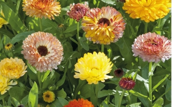 Calendula Playtime Mix