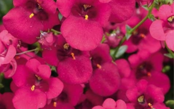 Diascia Diamond Collection