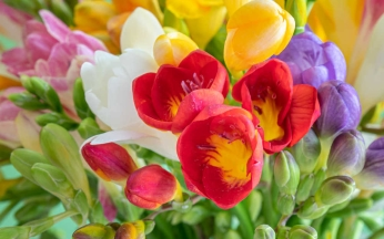 Freesia Bulbs