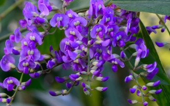 Hardenbergia Duo Collection