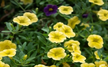 Helianthemum Collection