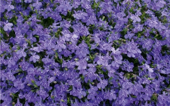 Lobelia Laura Collection