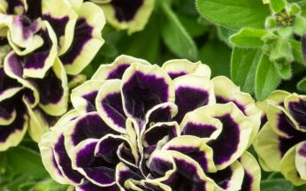 Petunia Mystical Midnight Gold