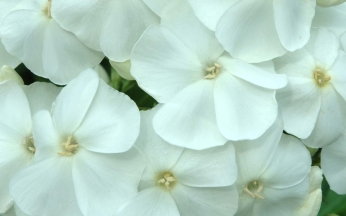 Phlox Sweet Summer Collection