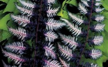 Athyrium (Fern) Ursula's Red