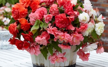 Begonia Fragrant Selection