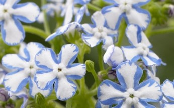 Brunnera macrophylla Starry Eyes