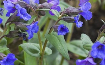 Pulmonaria angustifolia Blue Ensign AGM