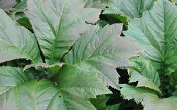 Rodgersia podophylla 'Braunlaub'