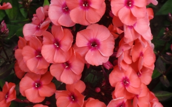 Phlox paniculata Prince Orange AGM