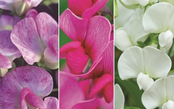 Lathyrus 'The Pearl' Collection