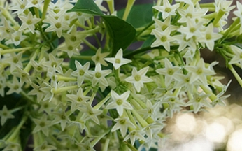 Cestrum nocturnum (Night-Blooming Jasmine)