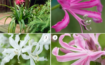 Collection Award Winning Nerines