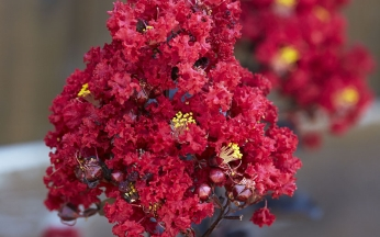 NEW Lagerstroemia indica Red Hot™