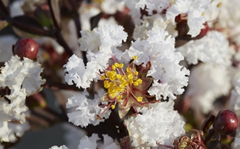NEW Lagerstroemia indica Pure White™