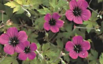 Geranium Anne Thomson AGM