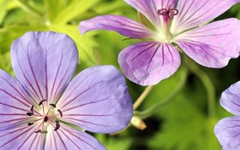 Geranium Blue Sunrise AGM