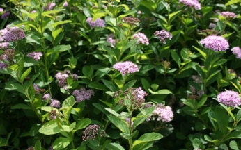 NEW Spiraea betulifolia 'Pink Sparkler'® PBR
