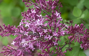 Syringa (Lilac) bloomerang Dark Purple