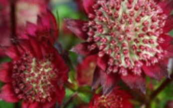 Astrantia major Ruby Star AGM (PBR)