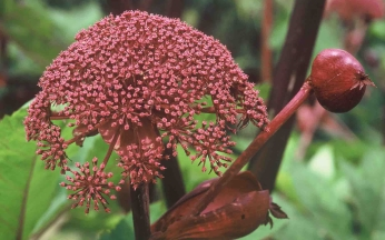 Angelica gigas - Purple Angelica