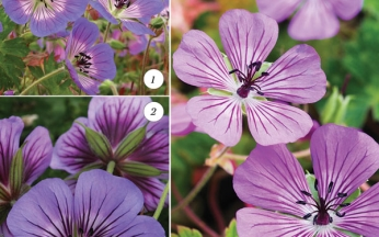 Geranium Forever-Flowering Collection