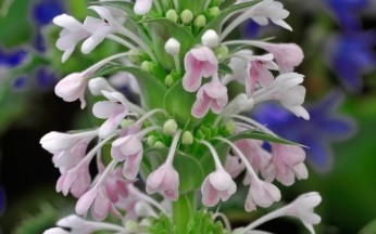 Morina longifolia - Whorl Flower