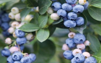 Vaccinium (Blueberry) Collection