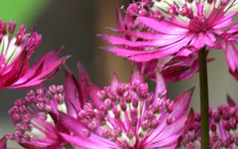 Astrantia major Ruby Giant