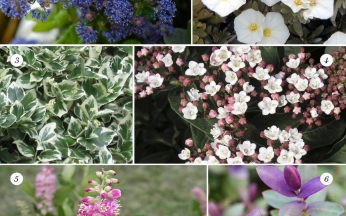 Collection Evergreen Shrubs